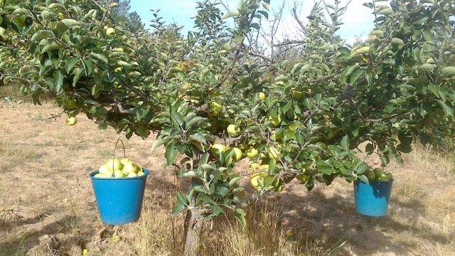 Burgos. Recolección de manzana reineta en el Valle de la Caderechas
