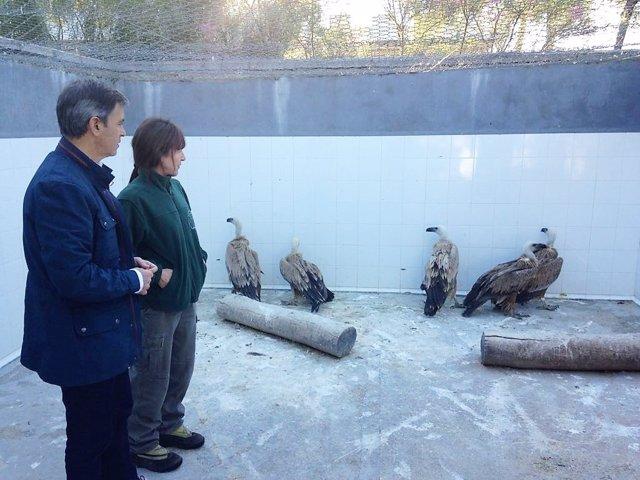 La Junta cede cinco buitres leonados a un zoo francés para cría y reproducción