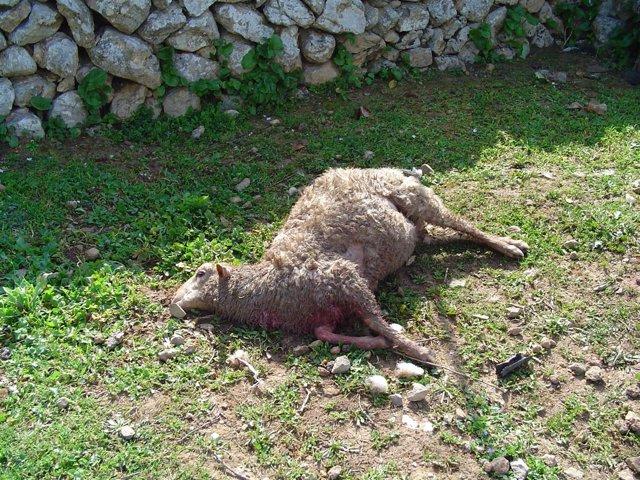 Oveja atacada por un perro en una explotación ganadera de Mallorca