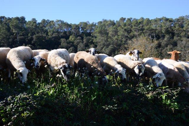 El rebaño de ovejas y cabras que realizó gestión forestal en Collserola
