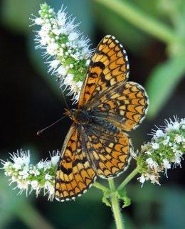 Mariposa Mediterránea Melitaea Deinoe