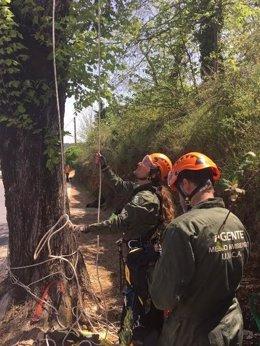 Agentes recuperan el olmo blanco de la Sierra de Huelva.