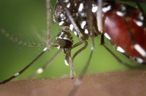 Hallan rastros de Zika en un mosquito tigre asiático en Brasil (PIXABAY/FOTOSHOPTOFS)