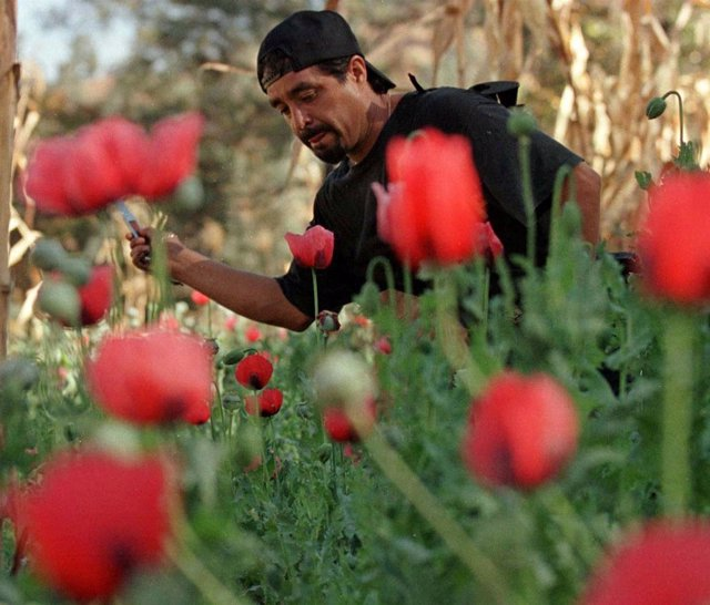 Erradicación de cultivos ilegales de amapola en México