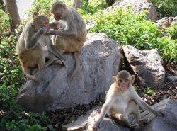 Descubren en monos las áreas cerebrales que se activan al ver una cara conocida