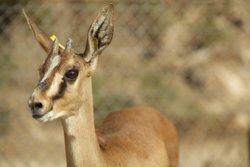 El CSIC y su Fundación muestran en un documental su proyecto sobre la recuperación de gacelas Cuvier en Túnez
