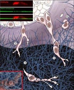 Descubierta una pieza clave para invadir y generar metástasis en cerebro
