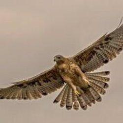 GREFA lanza el proyecto 'AQUILA a-LIFE' para contribuir a la recuperación del águila de Bonelli en España e Italia