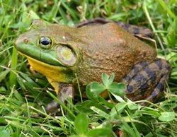 El cerco a la rana toro, especie invasora detectada en el Delta del Ebro, quedará desplegado este fin de semana