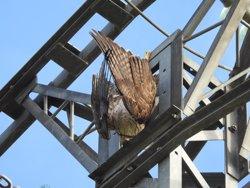 Los ingenieros técnicos industriales firman un acuerdo con GREFA para contribuir a evitar la electrocución de aves