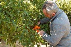 El Congreso debate exigir a Bruselas la salvaguarda en la importación de naranjas del Sur de África