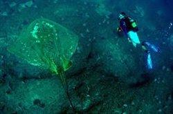 El primer estudio fotográfico sobre la raya marina más grande del mundo revela sus largos recorridos de migración