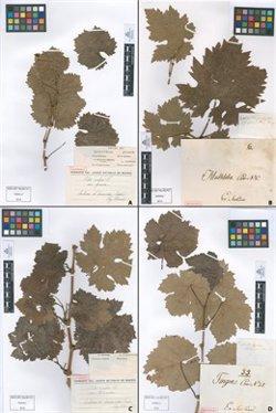 Científicos del CSIC identifican mediante ADN hojas de vid de hace 217 años