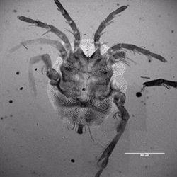 Hallan una nueva especie de ácaro acuático en el buche de un pato