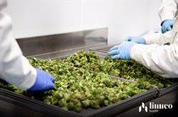 La marihuana medicinal podría reducir el uso de opiáceos para controlar el dolor, según estudio preliminar