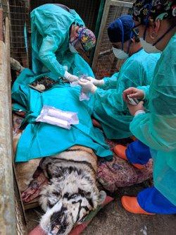Fallece la tigresa Diana del Zoológio El Bosque de Oviedo