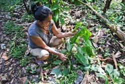 Un estudio sobre la 'farmacia' de la jungla revela la elección de plantas medicinales por parte de los indígenas