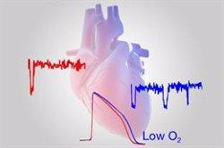 Un estudio revela cómo los bajos niveles de oxígeno en el corazón predisponen a sufrir arritmias cardíacas