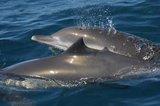Los capitanes de pesqueros deberán registrar cada captura accidental de cetáceos y aumentarán los observadores en buques