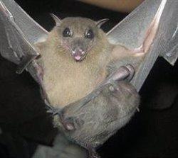 Investigadores de EEUU comprueban que los murciélagos pueden ofrecer pistas para tratar el Covid-19