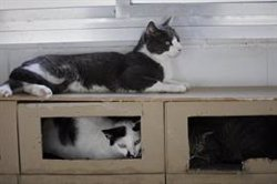 Desahucian a un hombre que vivía con 96 gatos en un piso en Gandia (Valencia)