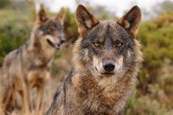 WWF reivindica los beneficios del lobo ibérico y pide a las administraciones que fomenten la coexistencia con ganaderos