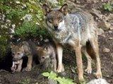 El Parlamento de La Rioja aprueba que el lobo sea especie protegida del LESPRE