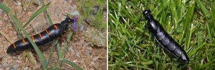 Descubren seis nuevas especies de aceiteras, las cantáridas más grandes de Europa