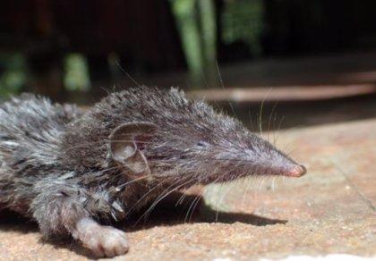 La Estación Biológica de Doñana describe la historia evolutiva de la musaraña en la región asiática de Sonda